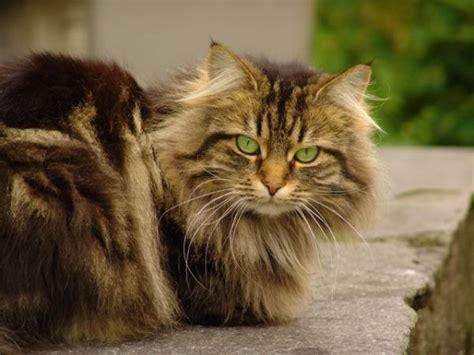 gatos gigantes  racas  voce precisa conhecer
