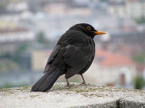 blackbird facts for kids