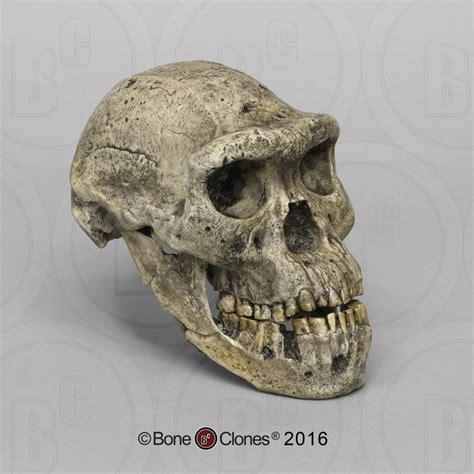 Dmanisi Homo erectus Skull 5 - Bone Clones, Inc ...