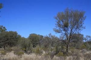 Birds of Australia key plants: Mulga (Acacia aneura)