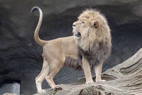 especies  tipos de leon