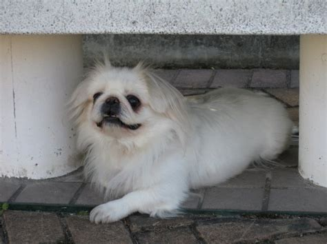 white pekingese puppies  sale puppies  sale dogs