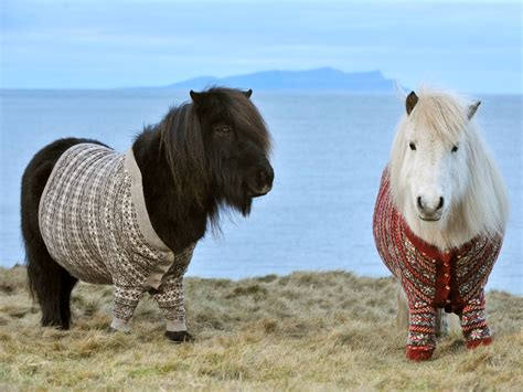 shetland ponies sweaters horses mini pony scotland wear isles wool today wearing clothes cuteness overload miniature horse baby cute sweater