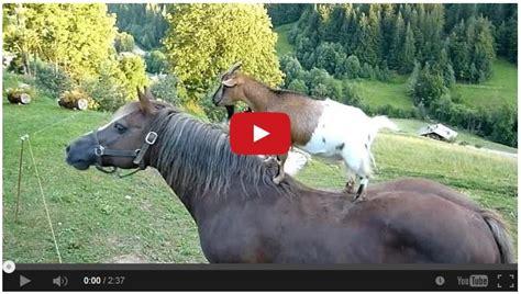 goats riding horses  cracking    horseaholic