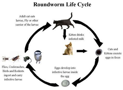 roundworm in cats georgetown animal clinic pc roundworms in cats