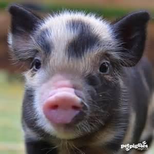 Micro Mini Teacup Pigs for Sale