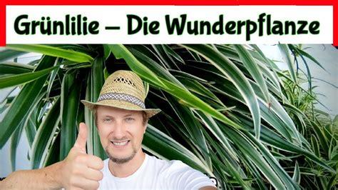 Zimmerpflanzen Portraet Gruenlilie by Gr 252 Nlilie Die Wunderpflanze 5 Fragen 5 Antworten