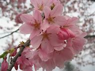 Best Flowering Tree Identification Ideas And Images On Bing Find