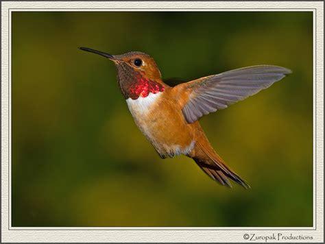 hummingbirds rufous hummingbird 17