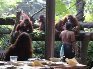 Singapore Zoo - Breakfast with the Orangutans | iRamble.co.uk