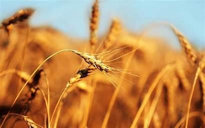 Barley Field Cebada Wheat Fondo Campo Fields