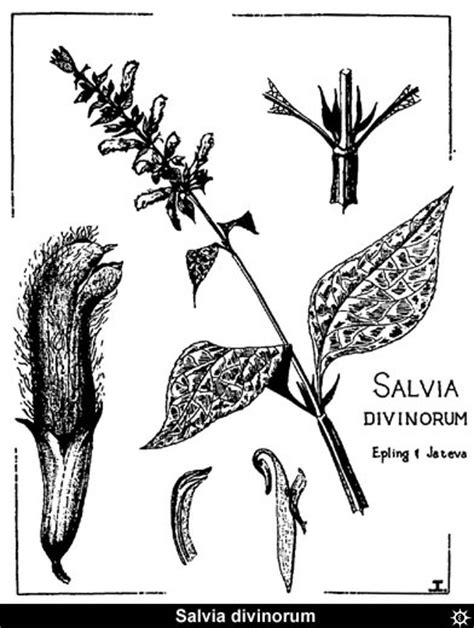 erowid plants vaults images salvia divinorum drawing