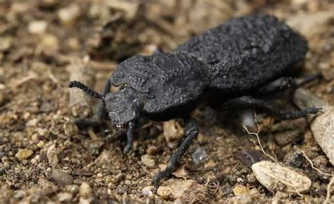 diabolical ironclad beetles   squished