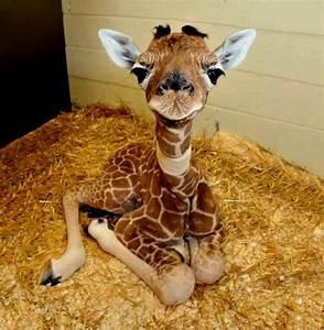 Wie Groß Ist Eine Europalette : wie hoch ist die giraffe wie gross wie schwer wie weit wie hoch ~ Whattoseeinmadrid.com Haus und Dekorationen