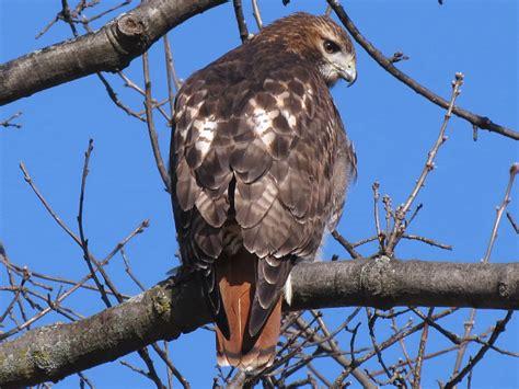 toronto wildlife hawks