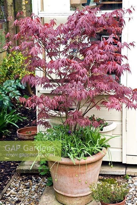 gap gardens acer palmatum bloodgood in clay pot image no 0196232 photo by