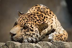 Wallpaper jaguar, look, cute animals, Animals #4743