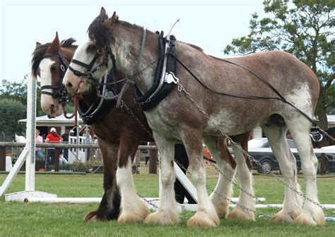 blooded cold horses horse clydesdale myths clydesdales