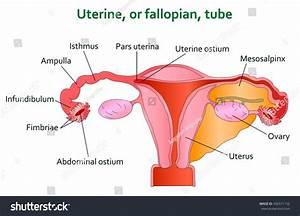 Uterine Diagram Illustration Stock Illustration 436571152