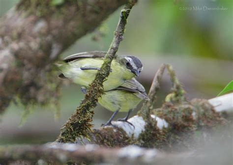 Yellow-bellied Tyrannulet (Ornithion semiflavum) Photo Image