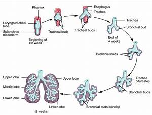 Embryonic Development Of The Respiratory System