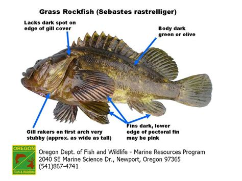 grass rockfish animal biology