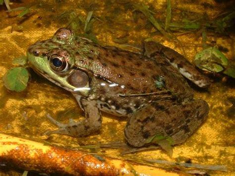 Do Aquatic Frogs Shed Their Skin by Untitled Document Bio Sunyorange Edu