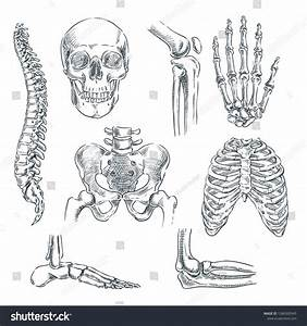 Human Skeleton  Bones And Joints  Vector Sketch Isolated