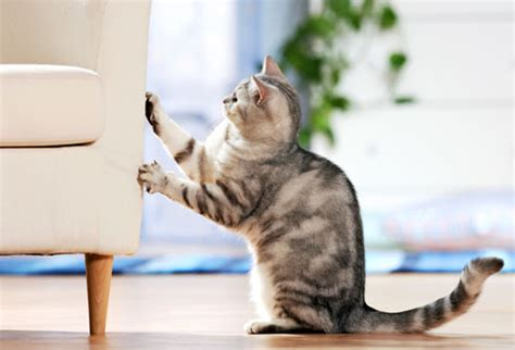 Stop Cat From Scratching Furniture by Cat Scratching Furniture All Pet News