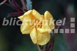 Gelbe Sommerblumen Mehrjährig : blickwinkel duft nachtkerze duftnachtkerze oenothera odorata bluete fragrant evening ~ Frokenaadalensverden.com Haus und Dekorationen