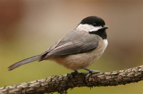 carolina chickadee aspen song wild bird food