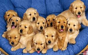 50 most lovely golden retriever puppy pictures and images