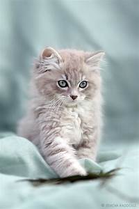 Adorable Gray And White Kitten Pictures, Photos, and ...