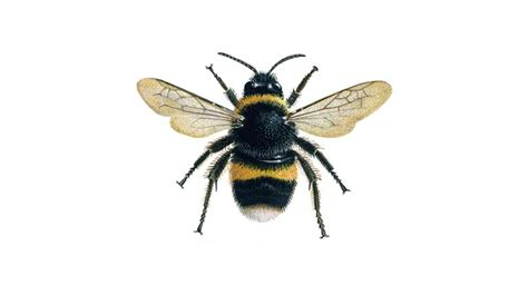 bumblebee facts  bees  rspb