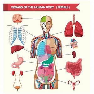 U00d3rganos Del Cuerpo Humano