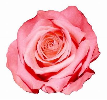 Rose Flower Pink Transparent Garden Clipart Resolution