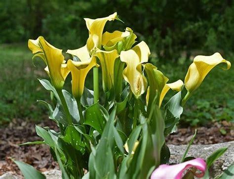 fiori calla fiori calla fiori di piante