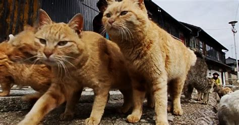 Japanese Island overrun by more cats than humans - Daily