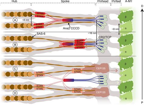 The Homo-oligomerisation Of Both Sas-6 And Ana2 Is