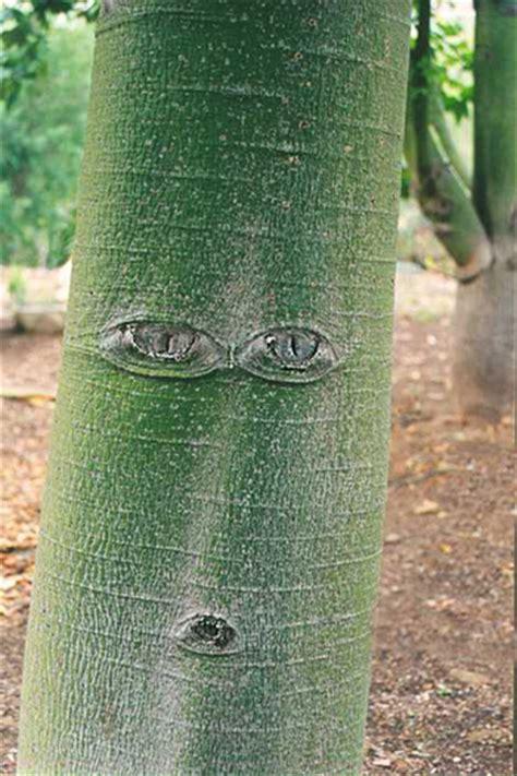 brachychiton discolor australian native plants plants