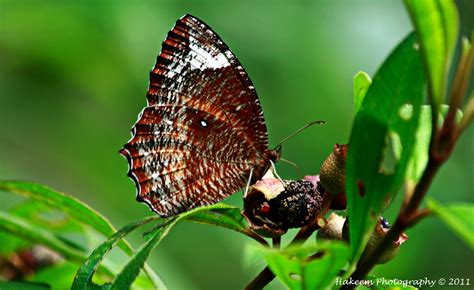 hakeem photography brown butterfly
