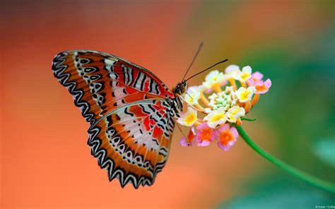 butterfly  flower wallpapers hd wallpapers id