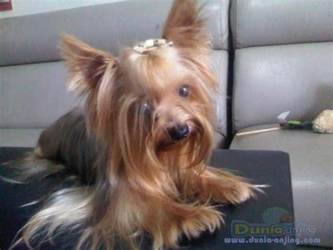dunia anjing jual anjing yorkshire terrier super mini