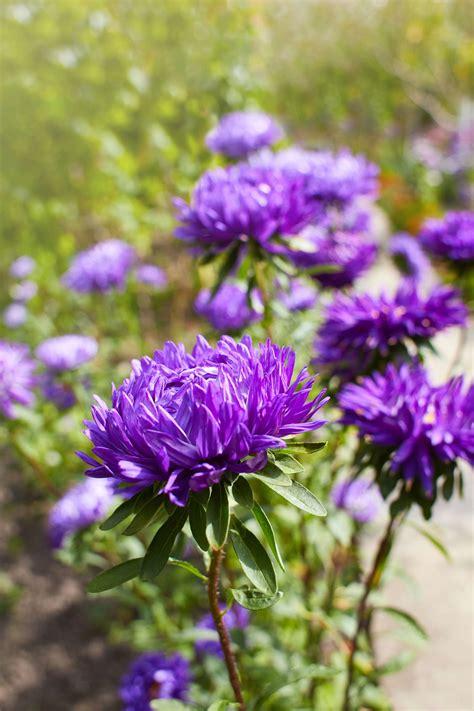 dendranthema hybride balkon chrysanthemen arten chrysanthemum indicum andere sorten 220 bersicht plantura