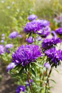 Dendranthema Hybride Balkon : chrysanthemen arten chrysanthemum indicum andere sorten ~ Lizthompson.info Haus und Dekorationen