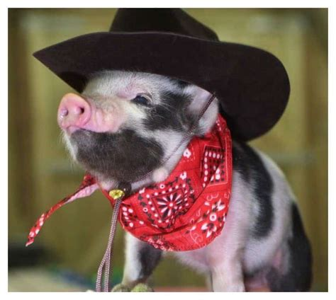 fashionable pigs youve
