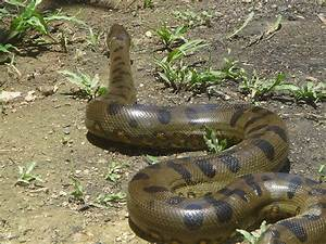 New: Images for Anaconda Snake