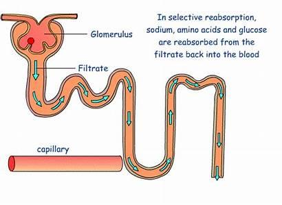 Reabsorption Glucose Selective Nephron Urine Tubule Proximal