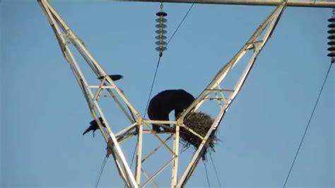 Mossberg Blog | Bear Climbs Electric Pole, Raids Nest | O ...