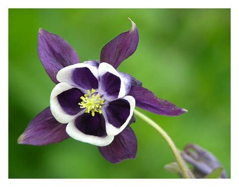 the columbine flower 60 incredible columbine flowers stock golfian com